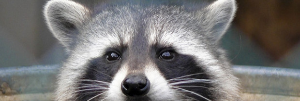 Introducing the Urban Super-Raccoon — Nimble, Quick and